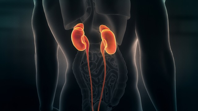 Anatomy of Human Male Kidneys on Black Background. Seamless Loop. Animation.