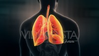 Anatomy of Human Male Lungs on Dark Background. Seamless Loop.Animation.